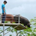 Tin tức trong ngày - Ảnh đẹp: Huấn luyện lợn nhảy cầu