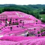 Du lịch - Đắm chìm trong thiên đường hoa Chi Anh ở Nhật Bản