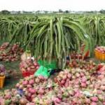 Thị trường - Tiêu dùng - Thanh long Việt gặp khó vì thanh long Trung Quốc
