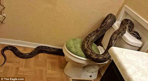Mỹ: Hoảng hồn phát hiện trăn gần 4m trong toilet - 1