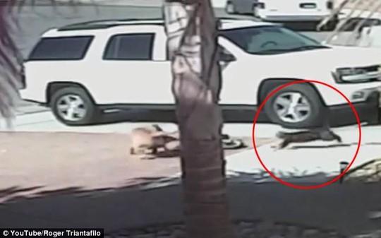 Mèo đánh chó cứu cậu chủ nhỏ - 4