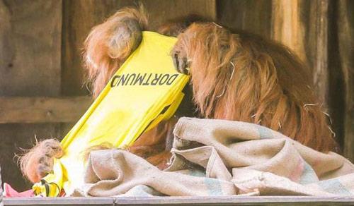 Đười ươi Walter dự đoán Dortmund đánh bại Bayern - 1
