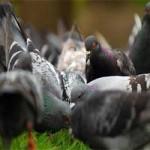 """Tin tức trong ngày - Bắt được chim bồ câu có ký tự """"lạ"""" ở Hoàng Sa"""