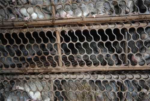 Đi chợ chuột lớn nhất miền Tây - 7