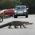 Tin tức trong ngày - Mỹ: Cá sấu lập chiến công bắt trộm giúp cảnh sát