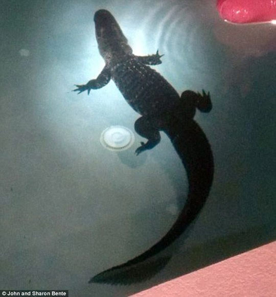 Hoảng hồn thấy cá sấu trong hồ bơi gia đình - 1