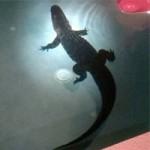 Phi thường - kỳ quặc - Hoảng hồn thấy cá sấu trong hồ bơi gia đình