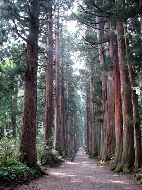 Đại lộ cây tuyết tùng dài nhất thế giới ở Nhật Bản - 7