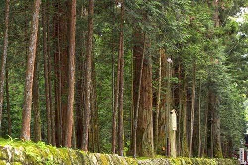 Đại lộ cây tuyết tùng dài nhất thế giới ở Nhật Bản - 4