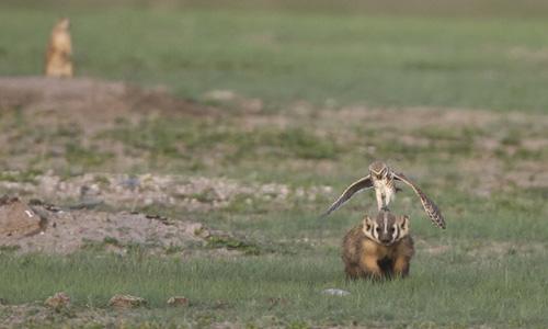 Ảnh đẹp: Dơi nâu săn bướm đêm - 9