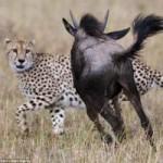 Tin tức trong ngày - Ảnh: Linh dương đuổi báo đốm chạy té khói