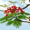 Lắng nghe và cảm nhận: Nỗi buồn hoa phượng