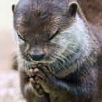 """Phi thường - kỳ quặc - Chú rái cá """"chắp tay cầu nguyện"""" trước bữa ăn"""