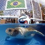 """Bóng đá - Rùa """"đầu to"""" đoán Brazil thắng Croatia"""