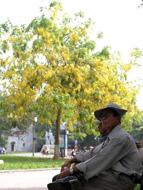 Hoa Muồng Hoàng Yến rực rỡ đường phố Hà Nội - 9