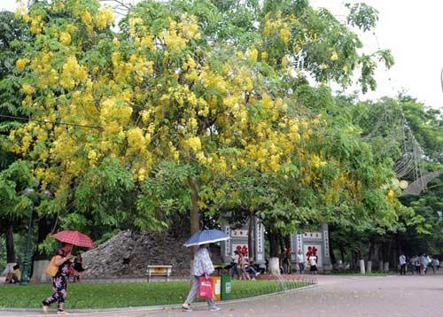 Hoa Muồng Hoàng Yến rực rỡ đường phố Hà Nội - 5
