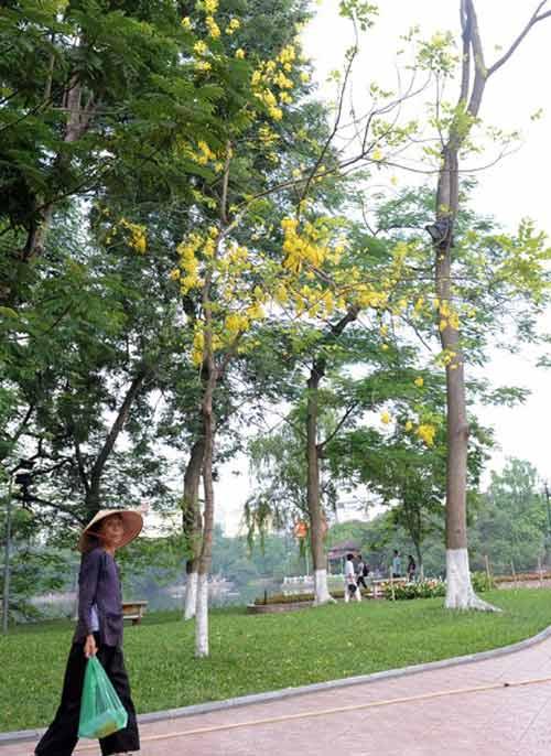 Hoa Muồng Hoàng Yến rực rỡ đường phố Hà Nội - 10