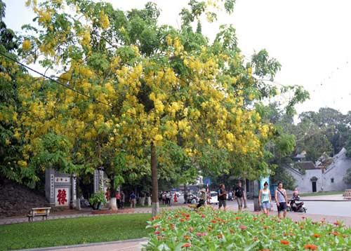 Hoa Muồng Hoàng Yến rực rỡ đường phố Hà Nội - 4