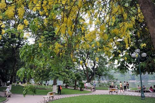 Hoa Muồng Hoàng Yến rực rỡ đường phố Hà Nội - 8