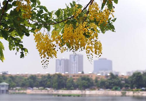 Hoa Muồng Hoàng Yến rực rỡ đường phố Hà Nội - 7