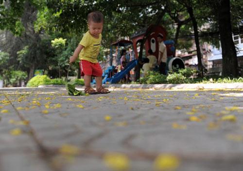 Hoa Muồng Hoàng Yến rực rỡ đường phố Hà Nội - 12