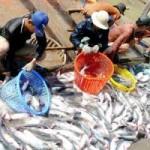 Thị trường - Tiêu dùng - Doanh nghiệp cá tra gặp khó vì nghị định mới