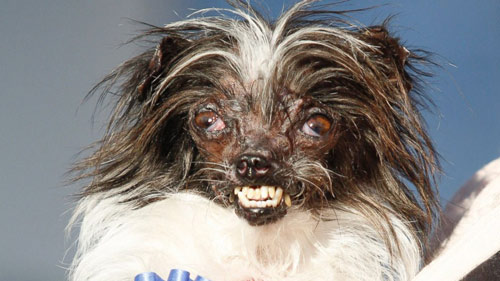 Ngắm chú chó xấu nhất thế giới năm 2014 - 2