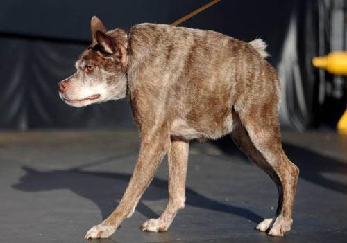 Ngắm chú chó xấu nhất thế giới năm 2014 - 4