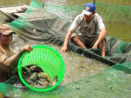 Đổ nợ vì cá rô đầu vuông - 1
