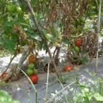 Thị trường - Tiêu dùng - 500 đồng/kg cà chua, nông dân hái cho bò ăn