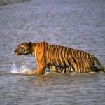 Tin tức trong ngày - Ấn Độ: Hổ vọt lên thuyền, cắn người tha xuống nước