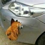 Phi thường - kỳ quặc - Sốc: Gà đâm thủng xe hơi của Nhật