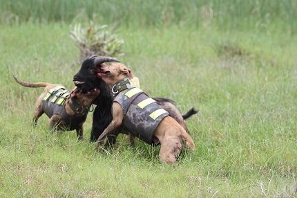 Rộ mốt nuôi chó Pit Bull: Hiểm nguy rình rập - 1