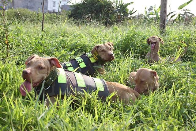 Rộ mốt nuôi chó Pit Bull: Hiểm nguy rình rập - 5