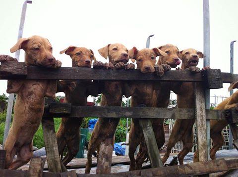 Rộ mốt nuôi chó Pit Bull: Hiểm nguy rình rập - 2