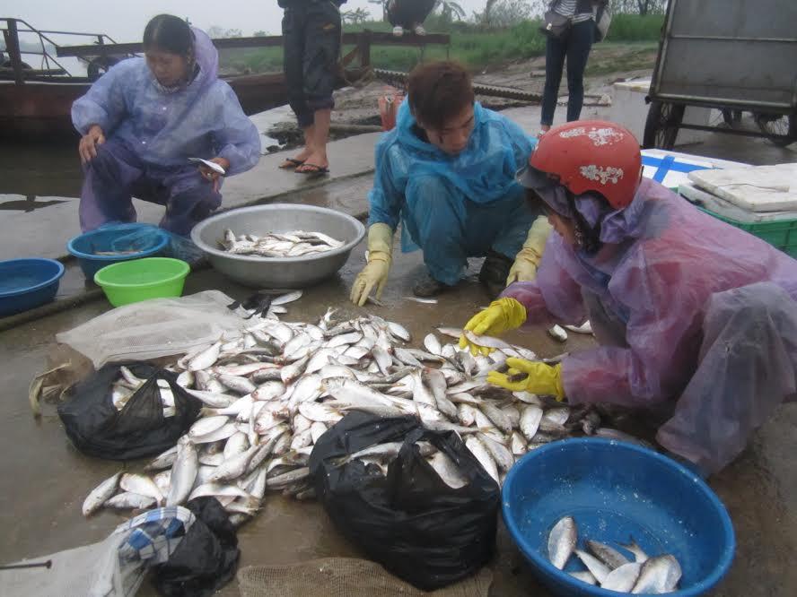 """Bắt cá mòi thu tiền triệu mỗi ngày: """"Lộc trời"""" trên sông - 2"""