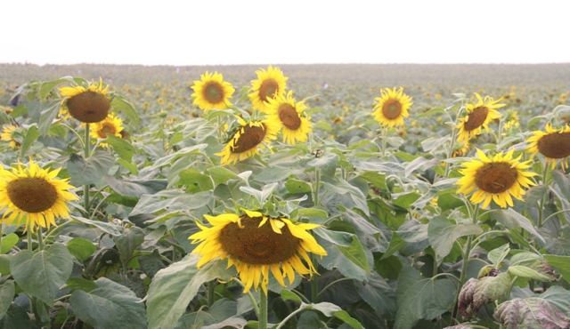 """Ngắm thảm vàng """"hoa mặt trời"""" nơi miền Tây xứ Nghệ - 1"""