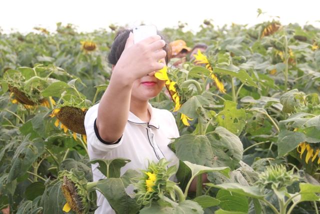 """Ngắm thảm vàng """"hoa mặt trời"""" nơi miền Tây xứ Nghệ - 4"""