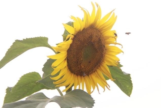 """Ngắm thảm vàng """"hoa mặt trời"""" nơi miền Tây xứ Nghệ - 2"""