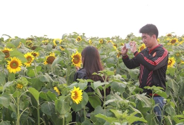 """Ngắm thảm vàng """"hoa mặt trời"""" nơi miền Tây xứ Nghệ - 6"""