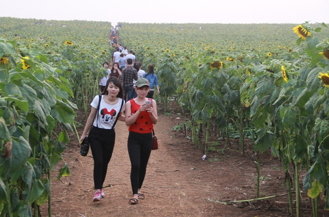 """Ngắm thảm vàng """"hoa mặt trời"""" nơi miền Tây xứ Nghệ - 11"""