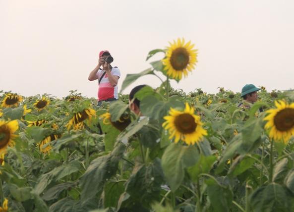 """Ngắm thảm vàng """"hoa mặt trời"""" nơi miền Tây xứ Nghệ - 15"""