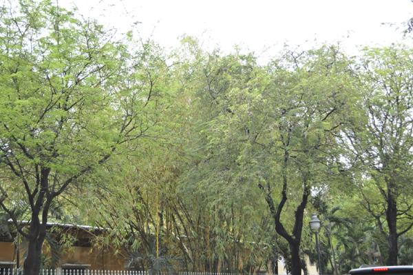 Ảnh: Sài Gòn mộng mơ với những con đường lá me bay - 1