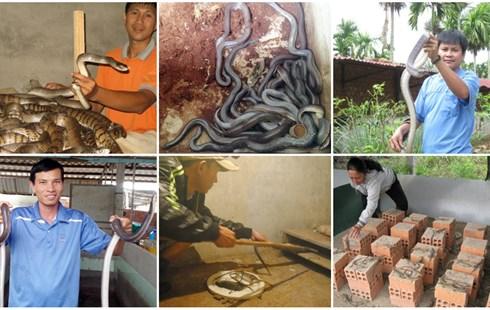 """Những chiêu nuôi rắn độc đáo """"hái ra tiền"""" từ Nam chí Bắc - 1"""