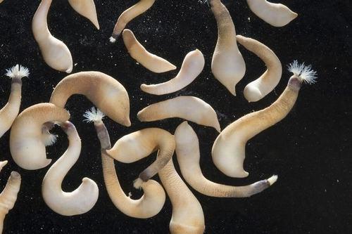 Video: Kinh hãi ấu trùng sâu biển phun nọc như nhả tơ - 2