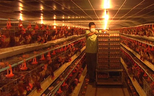 Cúp điện, trại gà mất tiền triệu mỗi ngày - 1
