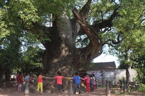 Chiêm ngưỡng cây Dã Hương 18 người ôm không xuể - 1
