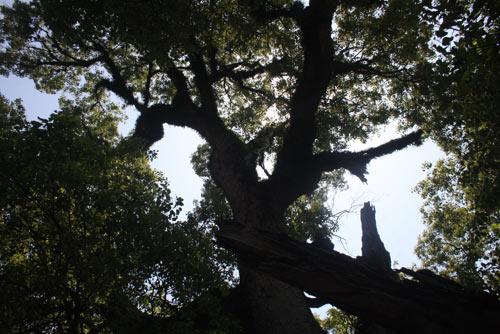 Chiêm ngưỡng cây Dã Hương 18 người ôm không xuể - 4