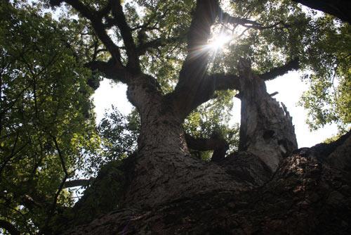 Chiêm ngưỡng cây Dã Hương 18 người ôm không xuể - 6