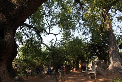 Chiêm ngưỡng cây Dã Hương 18 người ôm không xuể - 8